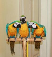 Ομιλητικός μακώ παπαγάλος